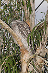 An Australian Tawny Frogmouth (Podargidae: Podargus strigoides), also known as Tawny-shouldered Frogmouth, or (incorrectly) as Mopoke, Morepoke and Frogmouth Owl, roosts during the daytime in a Cajuput Tree (Myrtaceae: Melaleuca leucadendron) in a suburban street. Its mate may be sitting on a nest nearby.  //  Frogmouth: to 50cm, nocturnal, preys on insects and small vertebrates, open woodland throughout Australia, Tasmania, southern New Guinea, weak anisodactyl toes useless for catching prey;  /  Cajuput: to 40m, tropical Australia, especially near water, paperbark, drought tolerant, popular in cultivation;