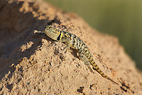 442800022 a wild yellow-backed spiny lizard sceloparus uniformis perches on a rock along chalk bluffs road near bishop inyo county california