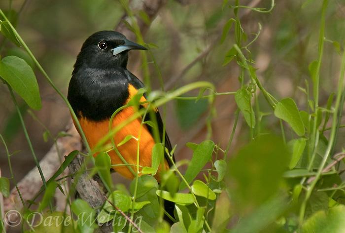 561860010 a rare texas songbird visitor a black-vented oriole icterus weglari perches on a tree limb at bentsen state park hidalgo county texas united states
