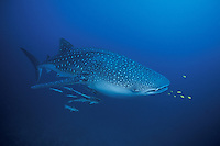 Whale Shark, Rhincodon typus, accompanied by remoras and juvenile jacks. Richelieu Rock, Andaman Sea, Thailand.