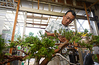 A student at a bonsai class in the Tojuen bonsai nursery. Bonsai-mura, Omiya, Saitama Prefecture, Japan, June 25, 2013. The Omiya Bonsai Village was founded in 1925 and is Japan's most famous production center for bonsai.