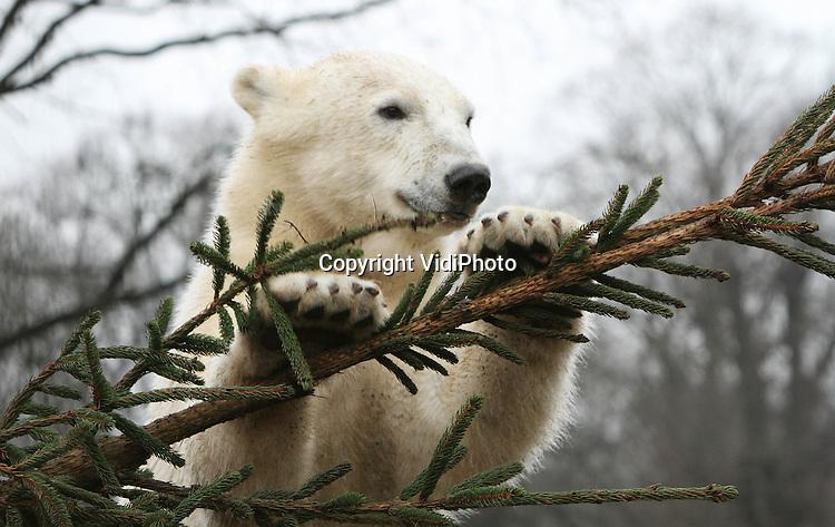 Foto: VidiPhoto..RHENEN - De ijsberen van Ouwehands Dierenpark in Rhenen kregen vrijdag een paar enorme 'nagelslijpers'. De onverkochte kerstbomen van een handelaar uit de buurt zorgen niet alleen voor veel speelplezier, maar hebben ook een belangrijke functie. De komende dagen krijgen meer dieren een boom in hun verblijf. Veel dieren, en ook ijsberen, eten in de vrije natuur schors en nieuwe scheuten van dennen. Aan de bomen wordt dus flink geknaagd! De kerstbomen worden door de ijsberen ook gebruikt om hun nagels aan te slijpen. Het aanbieden van deze dennen valt onder verrijking, wat wil zeggen dat Ouwehands Dierenpark haar dieren stimuleert in hun natuurlijk gedrag. Ook Dierenpark Amersfoort geeft de dieren kerstbomen. Bezoekers mogen op zondag 6 januari (Drie Koningen) meenemen naar het park, waarna de dierverzorgers ze aan de dieren geven..