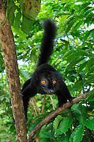 Black Lemur (Eulemur macaco macaco), male, Lokobe Nature Special Reserve, Nosy Be, Northern Madagascar
