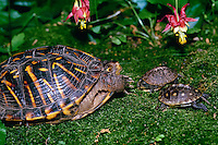 Adult female box turtle appears to be scolding two baby turtles in mossing garden with columbine flowers, Missouri USA