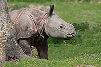 Indian Rhinoceros calf (Rhinoceros unicornis)