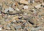 Great Basin whiptail, Cnemidophorus tigris tigris.  Wildrose Canyon, Death Valley National Park, California