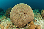 Round brain coral (Platygyra lamellina) in the reef.