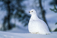 Willow Ptarmigan in winter white plumage, Brooks range, Alaska.