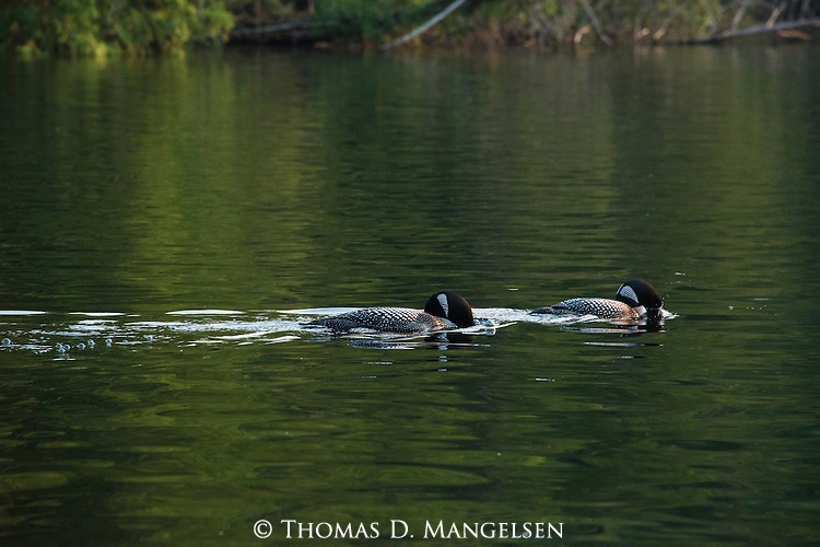 A pair of loons swim on Lake Anishinabi in Ontario, Canada.