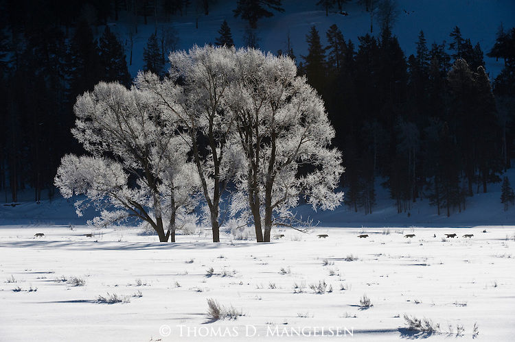 Druid wolf pack travel through Yellowstone National Park on a frosty winter morning.