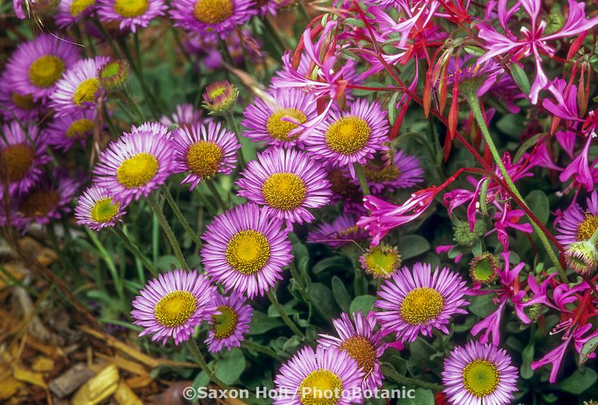 Erigeron glaucus (Seaside Daisy, Beach Aster) California native wildflower, flowering groundcover