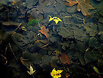 Colorful autumn leaves lying on the bed of Juanita Creek in clear water in late Fall