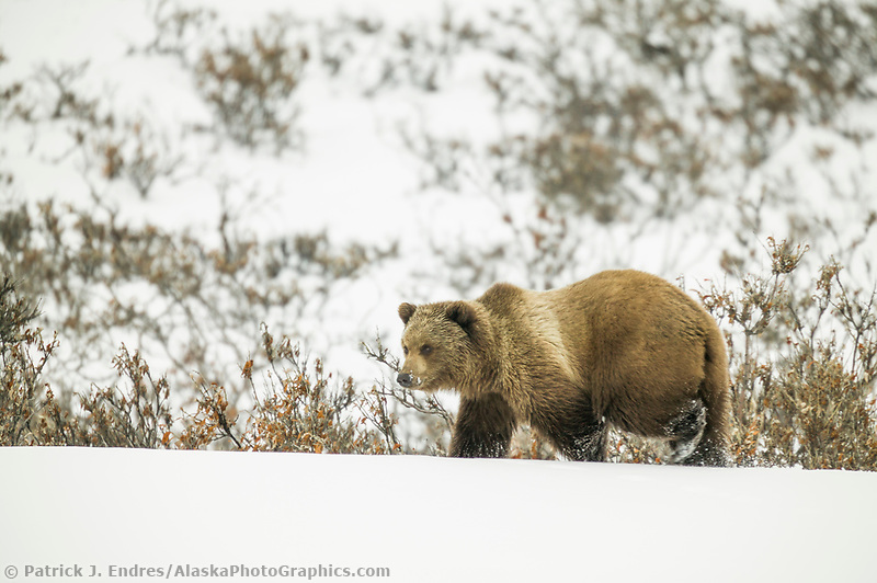 Grizzly bear in the fresh winter snow in Atigun canyon, Brooks range, Alaska