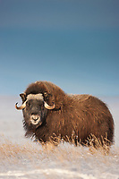 Muskox in the snow along Alaska's arctic north slope.