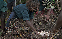 Aboriginals collect crocodile eggs, part of their native culture.<br /> I've never hunted for crocodile eggs with aborigines before. The day before we had gathered about 140 eggs from 3 nests and the croc had slithered off before we got there.  Aborigines just use a big stick or paddle to defend themselves from charging crocodiles and the first day there were two men armed with sticks.  As we walked toward the nest I patted their shoulders and told them I was standing behind them and they had to protect me.  They monitored my movements and kept themselves between me and the nest.  The next day, however, the sticks were manned by kids and the first nest we found was empty of eggs and no longer had a croc guarding it.  When we came up on the second nest the boat ran up against a log and we all had to jump out into the water to get to land.  Carrying cameras always puts you a couple of steps behind everyone else.  When I jumped into the water, the kids with sticks were already a couple of yards in front of me.  The only thing I really remember after that is seeing this huge gaping mouth of a crocodile coming right at me.  I knew they could run fast but I remember thinking &quot;how do they see where they're going with all those teeth lifted up in front of their eyeballs?&quot;  The boys were far enough ahead that they could run to the right.  The crazed animal only had one brain loop operating at that moment... It wanted to get to the water... I was still in the watery rut at the edge of the river and the only thing in its way.  I only had two options: jaws or water.  In panic mode, I chose the water option and the real fear came about one second later realizing I am in water with an angry crocodile.  There is some discrepancy about the size of the crocodile.  Rule of thumb is that an 8 foot crocodile can take a man if they are both in the water.  Estimates from 3 witnesses vary from 7 to 10 feet.