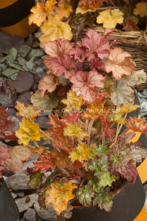 Heuchera 'Gypsy Dancer' (Dancer Series)