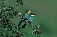 European Bee-eater, Merops apiaster, pair, Fretterans, France, Europe