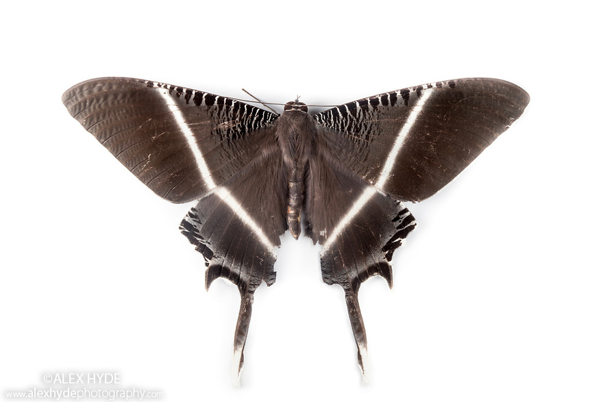 Tropical Swallowtail Moth {Lyssa menoetius} photographed on a white background in mobile field studio in tropical rainforest. Danum Valley, Sabah, Borneo, Malaysia.