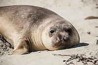 Northern Elephant Seal pup - Mirounga angustirostris - on beach at Cuyler Harbor, San Miguel Island, Channel Islands National Park, California