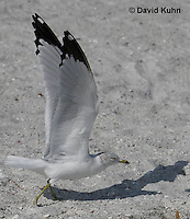 0711-0809  Ring-billed Gull Taking Flight, Larus delawarensis © David Kuhn/Dwight Kuhn Photography