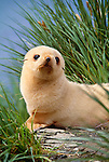 Antarctic fur seal pup, white morph, rests in tall grass, South Georgia Island