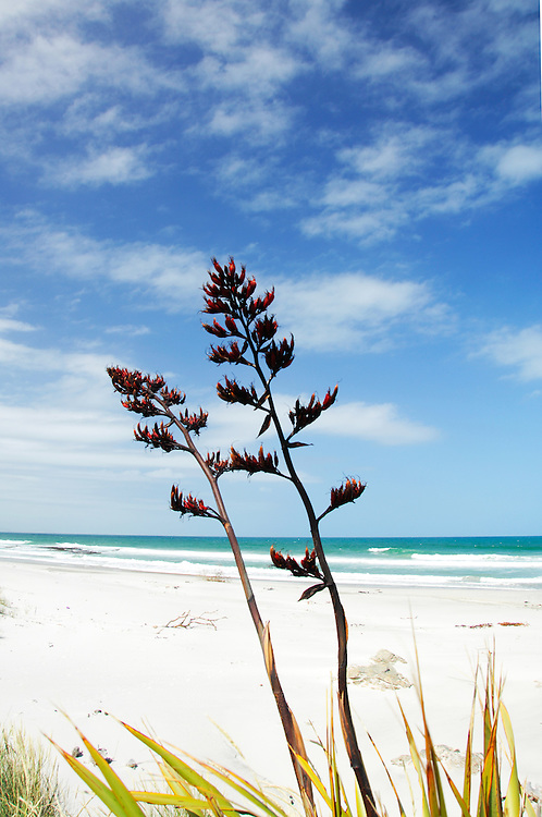 Flax Flowers and beach scene, New Zealand - stock photo, canvas, fine art print