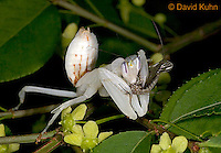 "0610-07ss  Malaysian Orchid Mantis Consuming Prey - Hymenopus coronatus ""Nymph"" - © David Kuhn/Dwight Kuhn Photography"