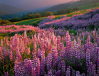 Redwood National Park, CA<br /> Evening sun sweeps a hillside meadow in the Bald Hills with riverbank lupine (Lupinus rivularis) and Oregon White Oak (Quercus garryana)