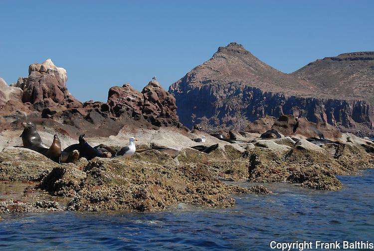 CA sea lions at Los Islotes