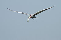 Caspian Tern with Mullet