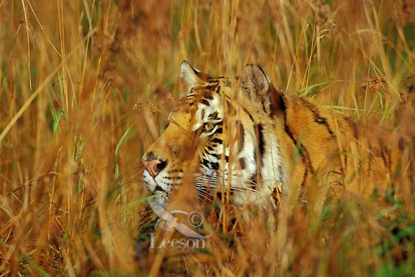 Malayan tiger  Wikipedia