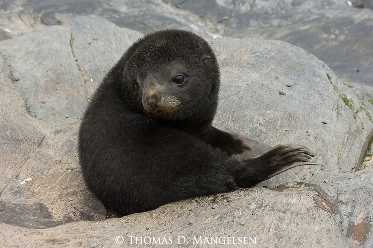 An Antarctic fur seal pup sits on the rocks of South Georgia.
