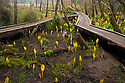 OR01201-00...OREGON - Boardwalk through a sunk cabbage covered marsh along the Hidden Creek Trail in the South Slough National Estuarine Research Reserve.
