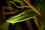 Central American Vine Snake
