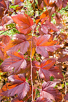 Physocarpus opulifolius Coppertina in autumn color in fall foliage leaves . Note that Physocarpus 'Coppertina' aka Mindia is called Physocarpus opulifolius 'Diable D'Or' aka Mindia in Europe.