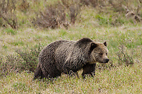 Grizzly bear (Ursus arctos horribilis) in Yellowstone National Park