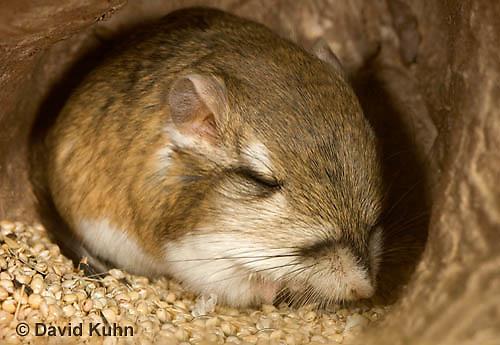 1114-0805  Merriam's Kangaroo Rat Underground in Burrow Sleeping, Dipodomys merriami © David Kuhn/Dwight Kuhn Photography.