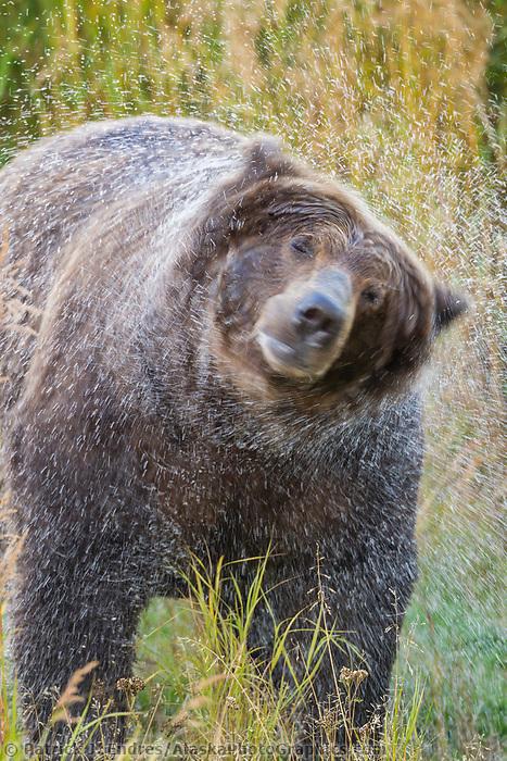 Brown bear shakes water off its fur along the grassy shores of the Brooks river, Katmai National Park, Alaska.