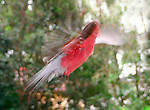 Galah - in flight - impressionistic, Brisbane Australia.  //   Galah - Cacatuidae (=Psittacidae): Eolophus (= Cacatua) roseicapilla. Length to 36cm, wingspan to NNcm, weight to 340g. Male with brown iris, female red. Endemic in Australia and north-west Tasmania, except in heavily canopied rainforests and the tip of Cape York. Usually drinks daily, therefore needs a nearby water source in its environment. Social, huge flocks may occur in agricultural regions, causing damge to crops. Feeds on on the ground on seeds. Nests in a tree hollow. Increasing range towards coastal areas at the present time. Also know as Rose-breasted Cockatoo, Roseate Cockatoo, Pink and Grey Galah. Hybrids are known with Major Mitchell's Cockatoo and the Little Corella. A popular cage bird. IUCN Status: Least Concern.  // Eric Lindgren//