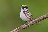 A Chestnut-sided Warbler (Dendroica pensylvanica) singing on a branch, Ontario, Canada.