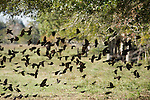 Brazoria County, Damon, Texas; a mixed flock of Red-winged Blackbirds (Agelaius phoeniceus) and other blackbirds taking flight in unison after foraging for food on the ground