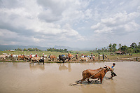A rider drag his bull across the watered rice filed before the event started.