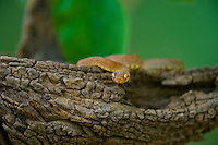 489000014 a hatchling captive variable bush viper atheris squamigera sits coiled on a large tree limb species is native to the democratic republic of the congo