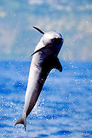pantropical spotted dolphin calf, .Stenella attenuata, leaping, .Big Island, Hawaii (Pacific).