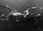Gannets dive into the sea to 10 or more metres to feed on sardines along side dusky sharks, dolphins