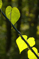 Backlit leaf vine