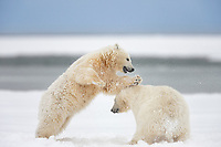 Polar bear cubs of the year playfight in falling snow on an island in the Beaufort sea, arctic, Alaska.