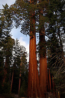 Sequoia National Park featuring the redwood trees and the worlds largest tree located in southern California. Photo/Andrew Shurtleff