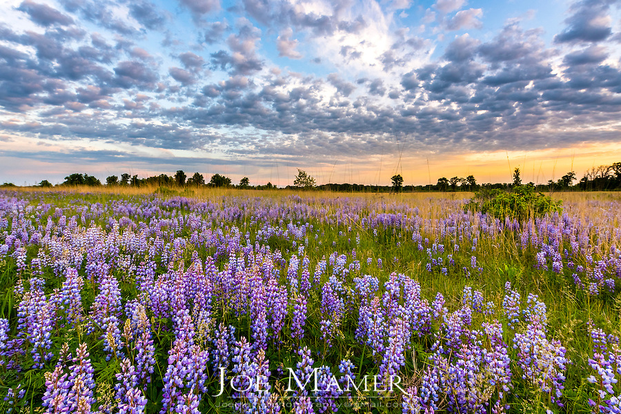 Wild lupine flowers at Sherburne National Wildlife Refuge.
