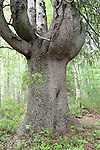 Old Pine Tree, Lentiira, Kuhmo, Finland